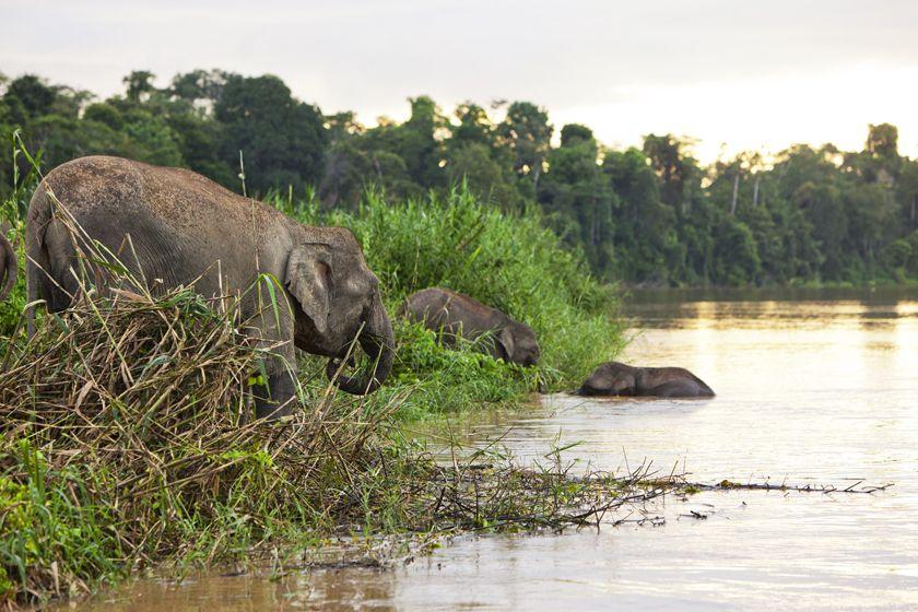 Pygmy elephants, Kinabatangan River, Borneo
