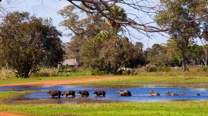 Capybaras, Caiman Ecological Refuge, Brazil