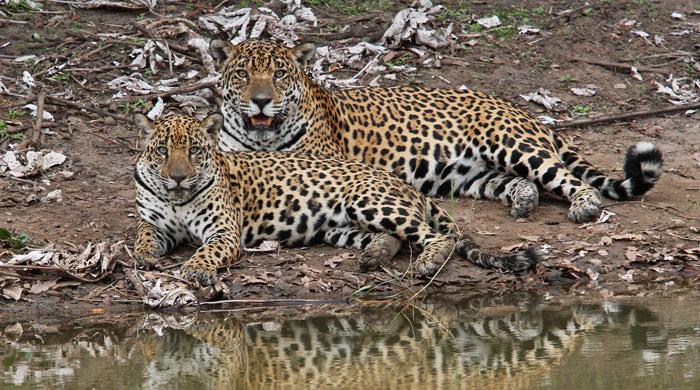 Jaguar with cub, Caiman Ecological Refuge, Brazil
