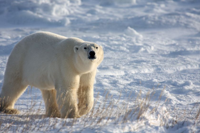 Polar bear, Manitoba, Canada