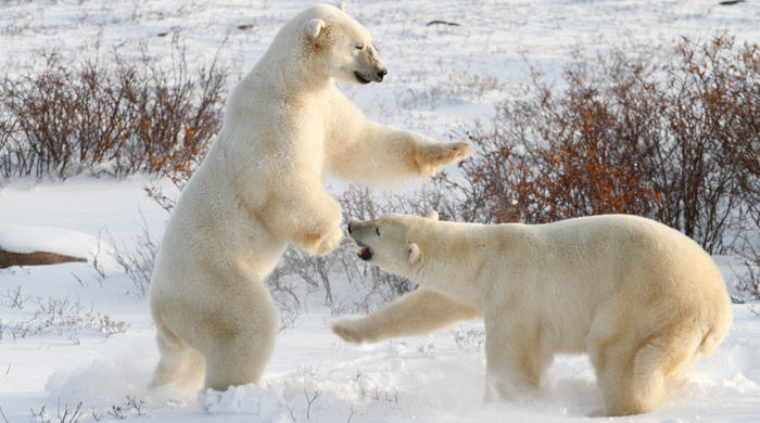 Polar Bears nr Churchill - image by Simon Gee