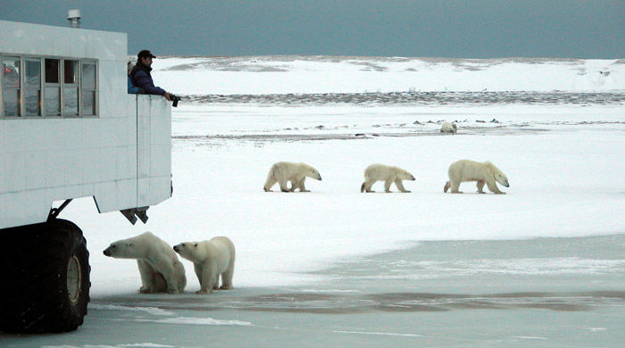 Polar bears and Tundra Buggy, Manitoba - image courtesy of Robert R Taylor