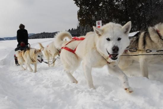 Dog sledding at Sacacomie Lodge