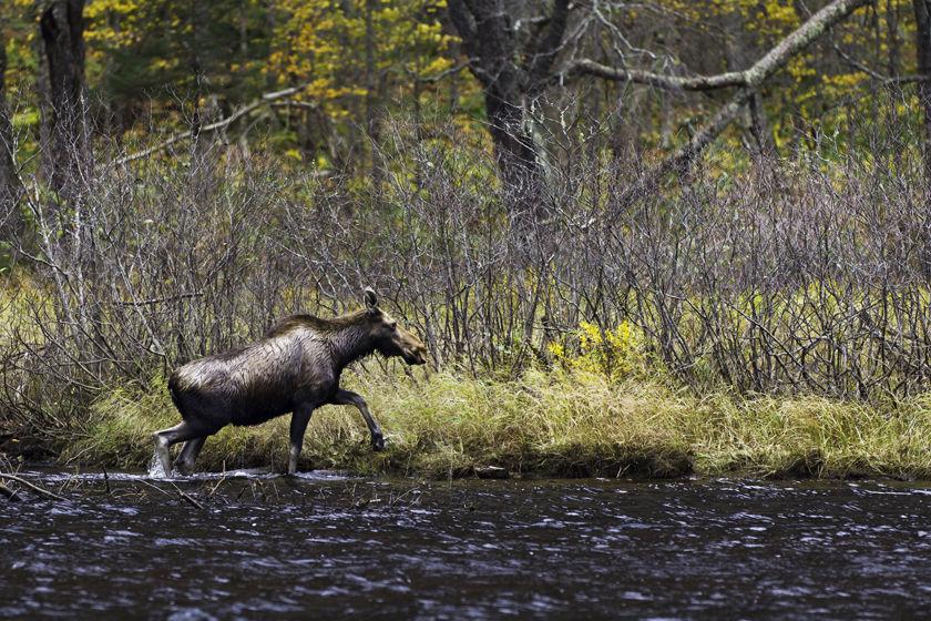 Moose, Quebec