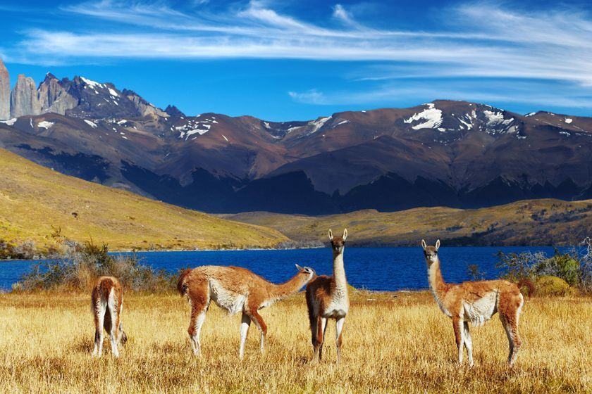 Guanacos at Torres del Paine National Park, Chile