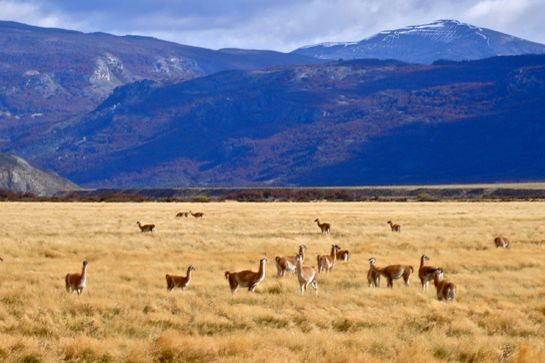 Herds of Guanacos near Lodge at Valle Chacabuco