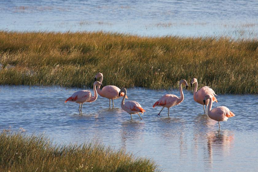 Flamingos of Patagonia