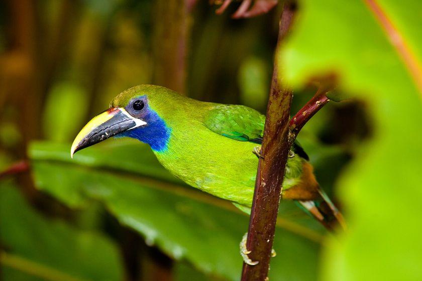 Toucanet, Costa Rica