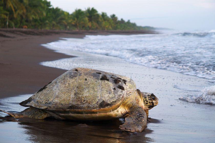 Turtle, Costa Rica
