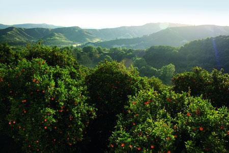 Orange trees Cyprus