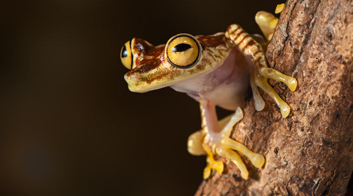 Amazonian frog, Ecuador