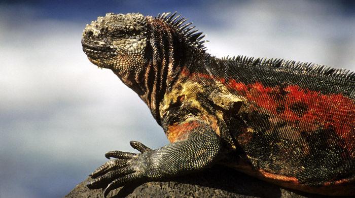 Marine Iguana, Galapagos, Ecuador