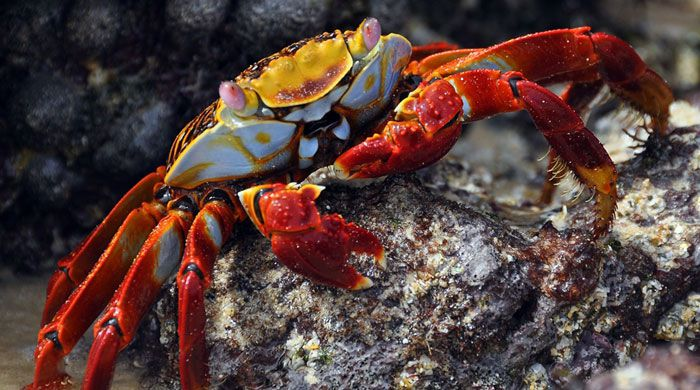 Red Cliff Crab, Galapagos, Ecuador