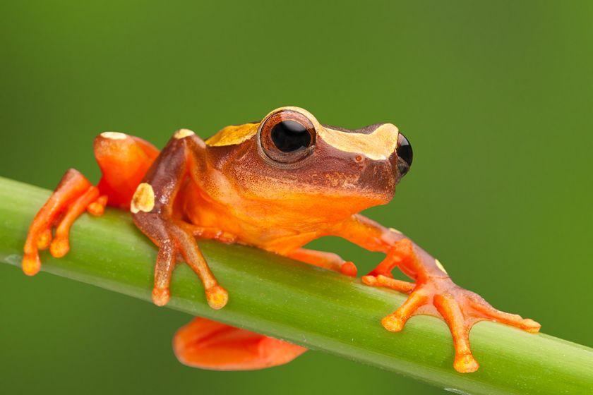 Frog, Ecuador