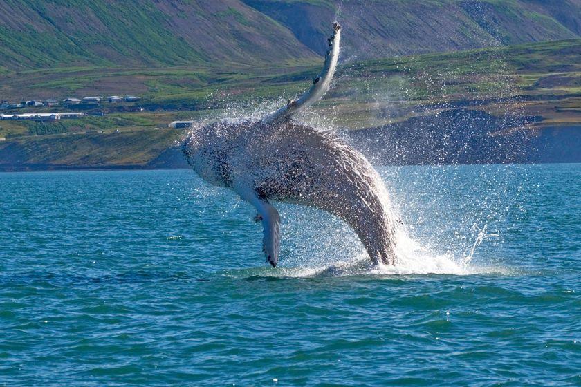 Whale near Husavik, Iceland