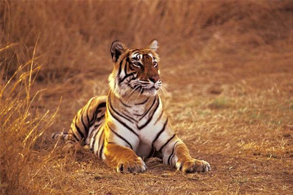 Tiger in the Ranthambore National Park