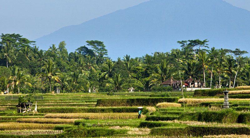 Rice fields, Uma Ubud