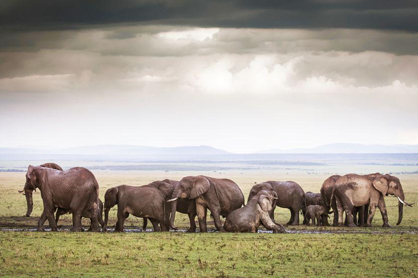 Elephants bathing in the Masai Mara, Kenya