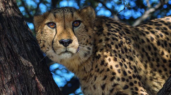 A Namibian cheetah