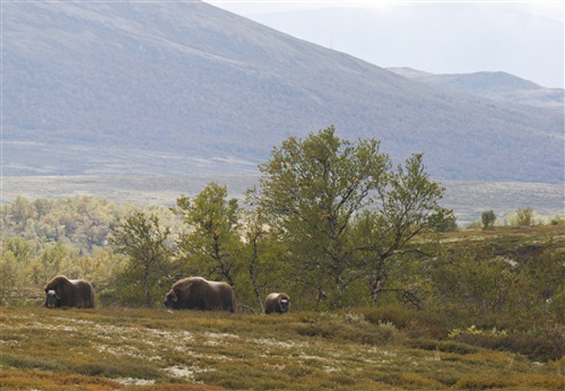 Musk ox in Dovrefjell, Norway