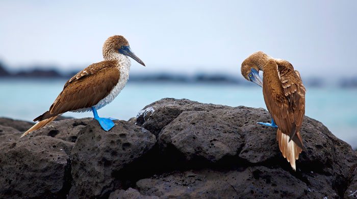 Blue footed boobies, Galapagos Islands