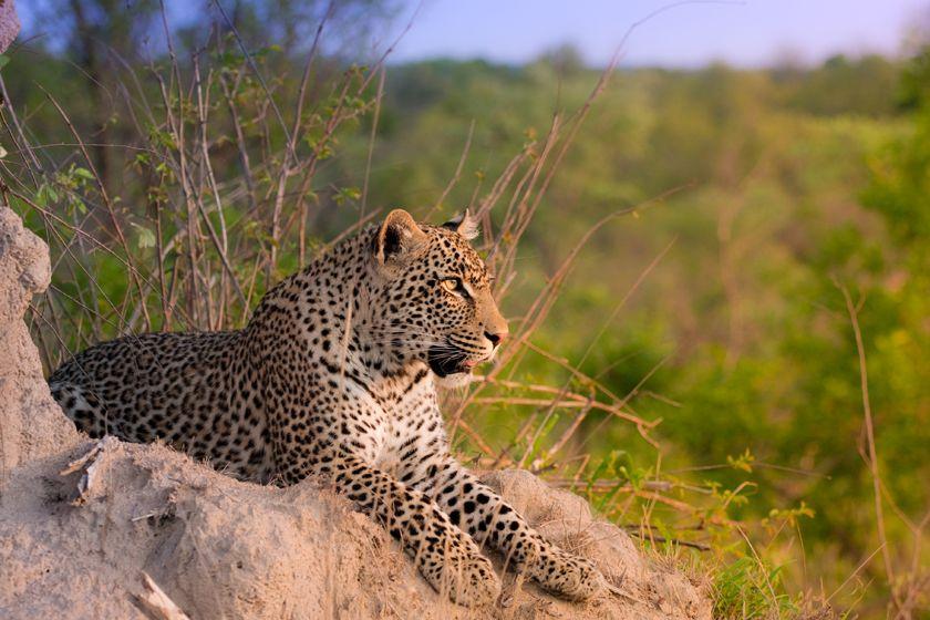 Leopard, Sabi Sand Reserve