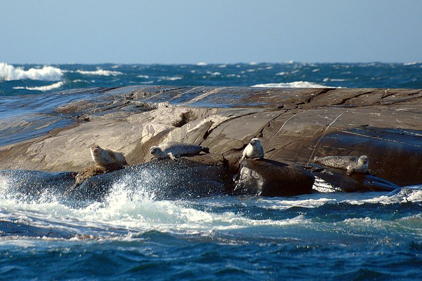 Seals off Sweden's west coast