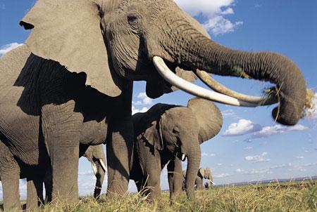 Tanzania Elephant