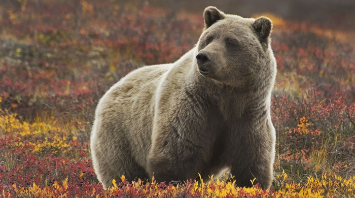 A grizzly bear in Denali National Park, Alaska