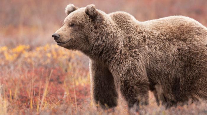 Grizzly, Denali National Park, Alaska
