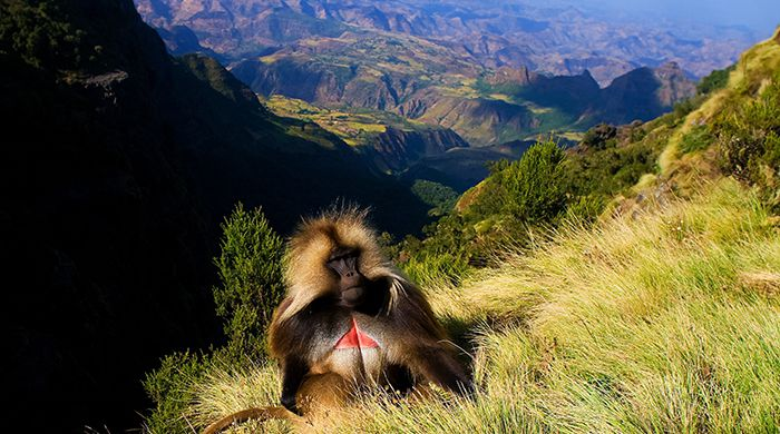 Gelada Baboon, Simien Mountains National Park