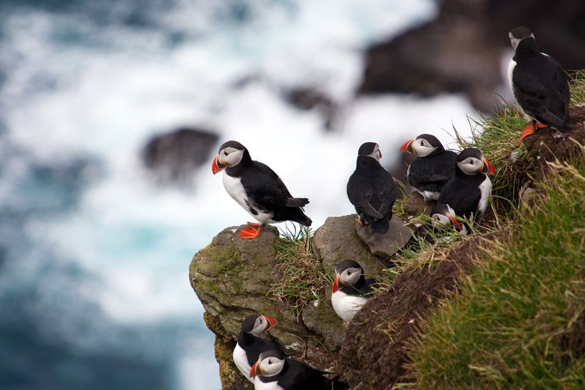 Puffins on Faroe Islands