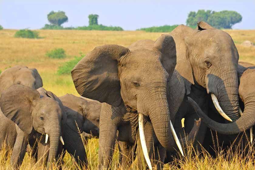 Elephant herd in the Queen Elizabeth National Park, Uganda