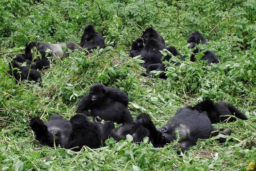 Gorilla famiiy, Rwanda