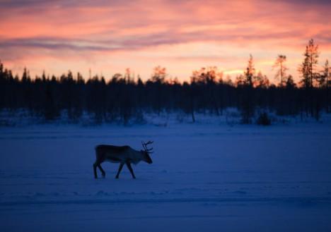 Reindeer, Torassieppi, Muonio
